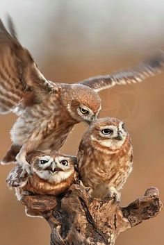 Beautiful owls with a large touch of cute.