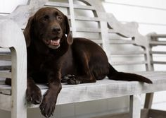 Chocolate Lab called Tim Tam! Bret is going to buy it for Keeley and myself!!