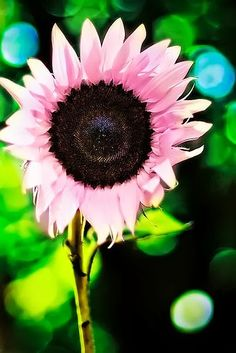 Pink Sunflower makes me happy!