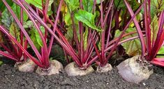 Most experts would agree that a regular colon cleanse program can ensure a better way of living. They believe that other forms of colon cleansing such as colon Gardening For Beginners, Gardening Tips, Companion Gardening, Beet Recipes, Home Vegetable Garden, Planting Vegetables, Veggies, Small Farm, Growing Herbs