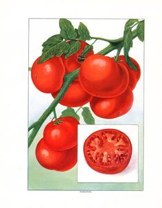 1911 Antique Food Print Fruit Tomato Fruit by AntiquePrintGallery