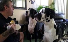 Great Dane Asks for a Bite of Her Human's Sandwich in the Funniest Way (VIDEO)