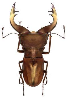 Cyclommatus speciosus