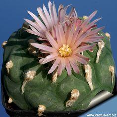 Lophophora diffusa v. koehresii    Riha 1996 Mesa Garden cat., Kaktusy, cf. Repert. Pl. Succ. (I. O. S.), 32 (3): 70-73; 47: 10 (1996 publ. 1997), 2001