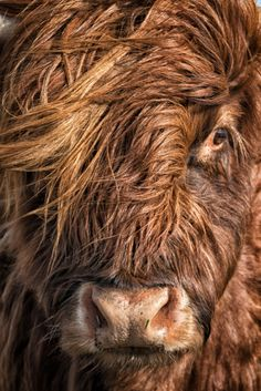 Cow Portraits - This Red Highlands cow was happy to pose for me (I hope). The light was perfect for a great capture.