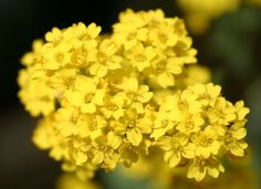 Cestos de Ouro - Imagens de Flores