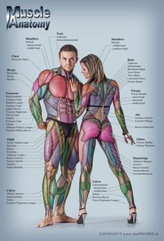 Anatomy of male and female muscular system - anterior posterior view - full body by ivanpavlisko, via Shutterstock Anatomy Study, Anatomy Drawing, Anatomy Art, Anatomy Reference, Drawing Reference, Anatomy Tattoo, Yoga Anatomy, Fitness Workouts, Fitness Hacks