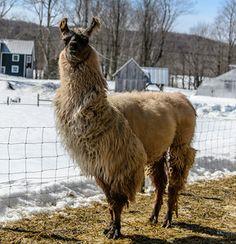 Image result for llama shearing Shearing, Llamas, Animals, Image, Animaux, Animal, Animales, Animais