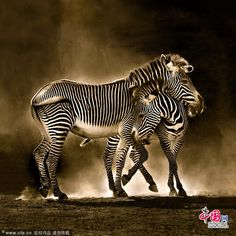 Zebra~Zebras Out of Africa, into Spain: photographs of the Cabarceno wildlife park by Marina Cano - Telegraph Safari Animals, Nature Animals, Animals And Pets, Cute Animals, Zebra Pictures, Animal Pictures, Zebras, Wild Life, Wildlife Photography
