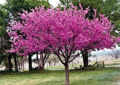 Western Redbud - deciduous shrub or small tree, moderate growth to 10 to 18 feet, milti-stemmed growth habit, clusters of magenta flowers in spring, blue-green foliage, full sun to light shade, drought tolerant.