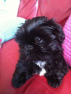 Meet Ted.. our adorable Shih Tzu pup!!