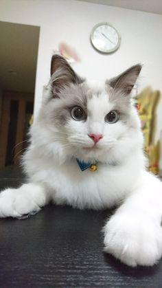 #Cats  #Cat  #Kittens  #Kitten  #Kitty  #Pets  #Pet  #Meow  #Moe  #CuteCats  #CuteCat #CuteKittens #CuteKitten #MeowMoe      ラグドールミント7ヶ月の頃 (@c22c5t23)さんより  #CuteCats...   http://www.meowmoe.com/53490/