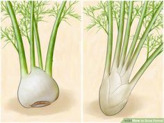 How to Grow Fennel