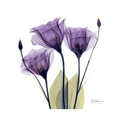 Purple Gentian Portrait Art Print by Albert Koetsier at Art.com