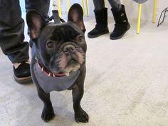 Mr. Borsalino, French Bulldog
