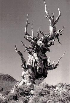 Bristlecone Pine Black And White Tree, Black And White Pictures, Conifer Trees, Flowering Trees, Pine Tattoo, Weird Trees, Bristlecone Pine, Twisted Tree, Tree Art