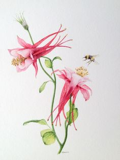 Aquilegia and bumble bee. Watercolour by Judith Jerams