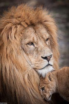 .lion et lionne