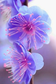 Beautiful Blue and Pink Bloom