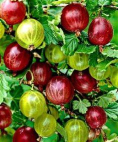 A l'origine sauvages comme toutes les autres baies, ces fruits poussaient en haies vives et en buissons dans les forêts ou à la lisière des bois et des champs. Considérées au Moyen Age comme plantes médicinales, elles ont commencé à être cultivées au...