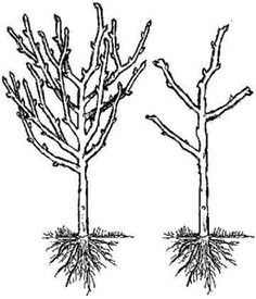 Prune Fruit Trees: Pruning Made Easy! How to prune fruit trees: Pruning made easy!How to prune fruit trees: Pruning made easy!to Prune Fruit Trees: Pruning Made Easy! How to prune fruit trees: Pruning made easy!How to prune fruit trees: Pruning made easy! Prune Fruit, Pruning Fruit Trees, Dwarf Fruit Trees, Tree Pruning, Veg Garden, Fruit Garden, Garden Trees, Edible Garden, Garden Plants