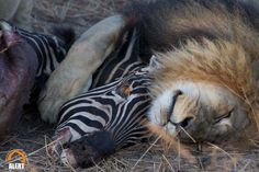 Milo and another zebra! Let's see how many zebra photos we can find... Greedy lions :)