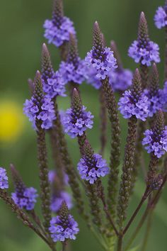 """""""Blue Vervain"""" photo by Penny Meyers.  Fine Art Prints and Greeting Cards from Fine Art America."""
