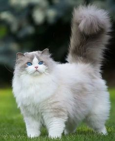 If your cat loses weight too quickly, they're at risk of getting hepatic lipidosis, or fatty liver disease, a potentially fatal illness. # beautiful Cats Safe Ways To Help Your Cat Lose Weight - CatTime Pretty Cats, Beautiful Cats, Animals Beautiful, Cute Animals, Beautiful Pictures, Animal Gato, Mundo Animal, Cute Kittens, Cats And Kittens