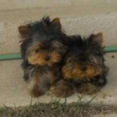 yorkie pups brother and sister.