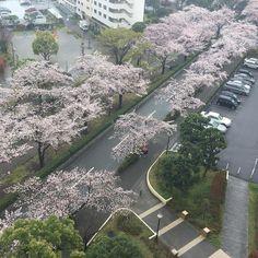 Bangun tidurliat beginian..alhamdulilah.. #tokyo #sakura #高島平 by tokyostories