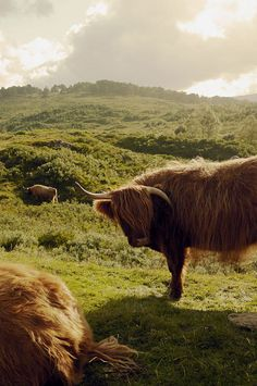 Highland cattle - Scotland https://twitter.com/OpusLearning