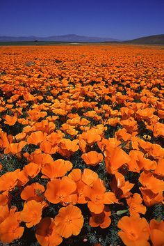 Californian Poppy field in Lancaster, CA . . I remember going there every year as a child :)