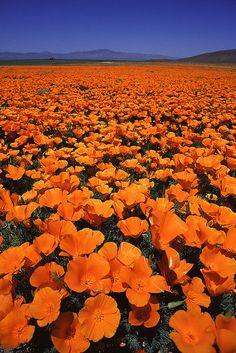 . . Californian Poppy field in Lancaster, CA . .