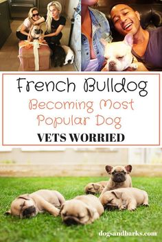 French bulldogs are set to becoming the most popular dog.  Before you go out an buy one find out why vets are concerned here!
