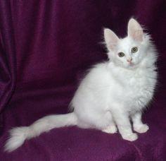 Dschadi's Türkisch Angora Kätzchen - Turkish Angora Kitten