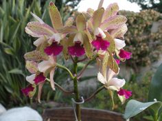 Orchid BLC Waianae Leopard Ching Hua Image   Pin by Talita Gomes on orquideas   Pinterest