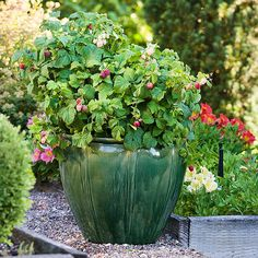 Raspberry Shortcake Raspberry:  This disease-resistant dwarf raspberry doesn't require staking and the canes are completely thornless, making harvesting the red, juicy berries a snap.  And because Raspberry Shortcake grows only 3 feet tall, it's ideal for tight spaces or container gardens. The plants are self-pollinating, so even if you grow just one plant, you'll still get a harvest.