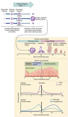 Learn about the physiology of the menstrual cycle and female the physiology of the menstrual cycle and female hormones easy visual learning ap pinterest menstrual cycle female reproductive system ccuart Images