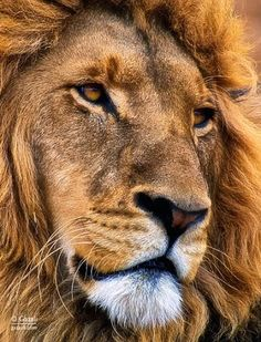 Beautiful photograph of a male lion Nature Animals, Animals And Pets, Cute Animals, Wild Animals, Beautiful Cats, Animals Beautiful, Le Roi Lion Film, Lion Photography, Gato Grande