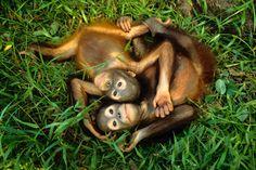 Picture of 2 baby orangutans