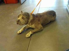 Pictures of DESILE a American Pit Bull Terrier for adoption in Phoenix, AZ who needs a loving home.