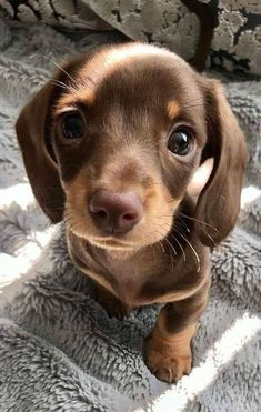 How To Care For A New Dachshund Puppy - cute puppies Super Cute Puppies, Baby Animals Super Cute, Cute Baby Dogs, Cute Little Puppies, Cute Dogs And Puppies, Cute Little Animals, Cute Funny Animals, Doggies, Cute Dogs And Cats