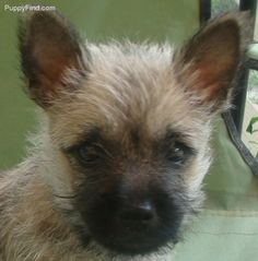Cairn Terrier Pictures (yj013a46u69)