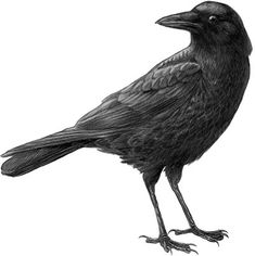 Crows perching   Study Links West Nile Virus to Declines in Crows in California