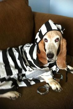 Firstly, Basset Hounds are pretty much the criminal ringleaders of the dog world. Hound Puppies, Dogs And Puppies, Funny Dog Memes, Funny Dogs, Bloodhound Dogs, Beagles, Basset Hound Funny, Pet Costumes, Halloween Costumes