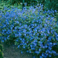 Loistokurjenpolvi Large Flowers, Blue Flowers, Geraniums, Fall Season, My Flower, Pastel Colors, Garden Plants, Shrubs