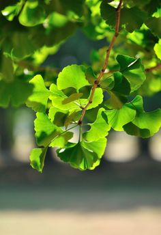 - ginko - one of my favorite trees Green Leaves, Plant Leaves, Forest Fairy, All Plants, Spring Green, Botany, Shades Of Green, Beautiful Gardens, Landscape
