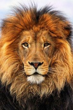 Lion – King of beasts. Lion – King of beasts. Lion Images, Lion Pictures, Animal Pictures, Beautiful Lion, Animals Beautiful, Image Lion, Animals And Pets, Cute Animals, Baby Animals