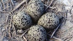 American avocet eggs