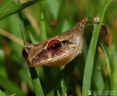 Coquí is the common name for several species of small frogs endemic to the island of Puerto Rico, onomatopoeically named for the loud sound males of two species make at night, the common coqui and the mountain coqui.